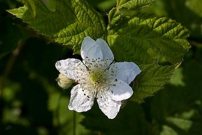 Ronces (Rubus)