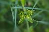 """A chaque étage 4 feuilles velues et oblongues forment une croix autour de la tige. Cette caractéristique est probablement à l'origine du nom de la plante (croisette - cruciata).<br /> <br /> Les fleurs ont 4 pétales jaunes très petits et sont disposées en verticille à l'aisselle des feuilles.<br /> <br /> ----------<br /> Juin : première semaine<br /> Durbuy / Morville / bord d'un chemin<br /> <a href=""""https://mapsengine.google.com/map/edit?mid=z8asQTxTvzYQ.kfRlsRa_MlEs"""">https://mapsengine.google.com/map/edit?mid=z8asQTxTvzYQ.kfRlsRa_MlEs</a><br /> ----------"""