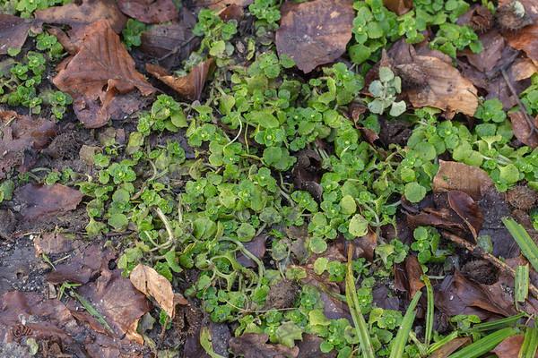 Tapis de Dorine à feuilles opposées