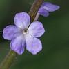 Verveine sauvage (Verbena officinalis)