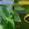 Violette des bois (Viola reichenbachiana)
