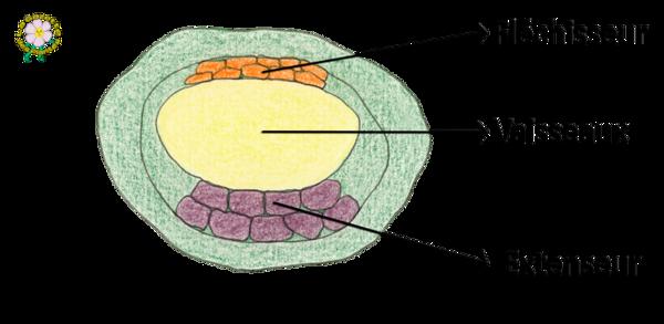 Coupe transversale d'un pulvinus