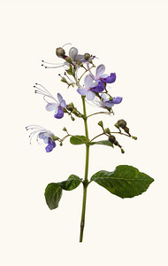 Blue Butterfly FlowerClerodendrum ugandense