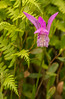 Arethusa bulbosa orchid amongst ferns