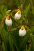 White Lady's slipper trio
