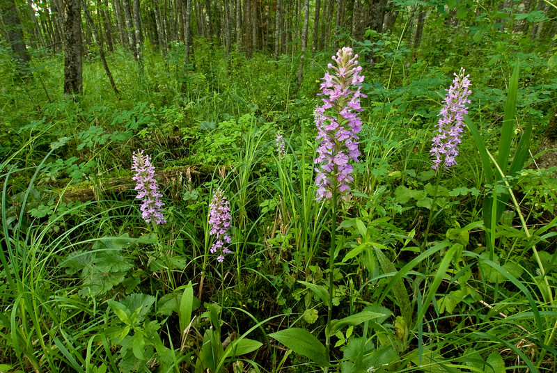 7005-Small Purple Fringed orchids in bog habitat (Platanthera psycodes)
