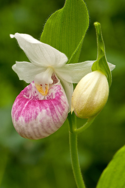 OSL-11012: Showy and bud (Cypripedium reginae)