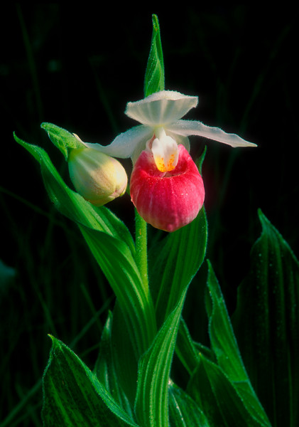 S007-Showy and bud (Cypripedium reginae)
