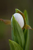 OWS-10002: Soft Focus Lady's slipper bud (Cypripedium candidum)