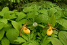 9015-Yellow Lady's slipper in in forest (Cypripedium calceolus var pubescens)