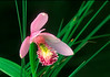 S004-Rose Pogonia (Pogonia ophioglossiodes)