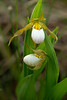 Small White Lady's-slippers