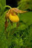 OYS-11001: Yellow Lady's slipper and Horsetail fern (Cypripedium calceolus)