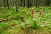 6015-Stemless Lady's slippers in bog habitat (Cypripedium acaule)