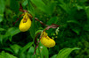 Small Yellow Lady's slippers