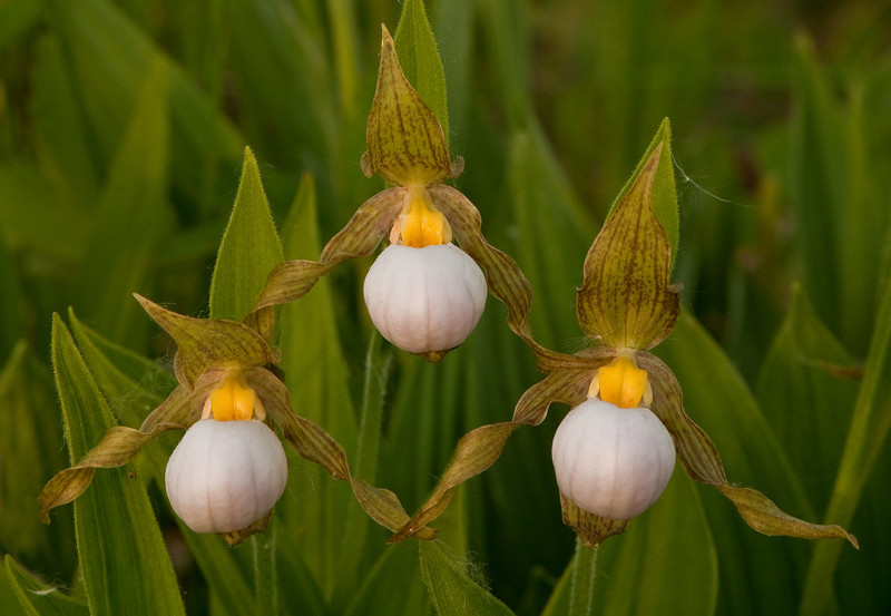 OWS-100015: White Lady's slipper trio (Cypripedium candidum)