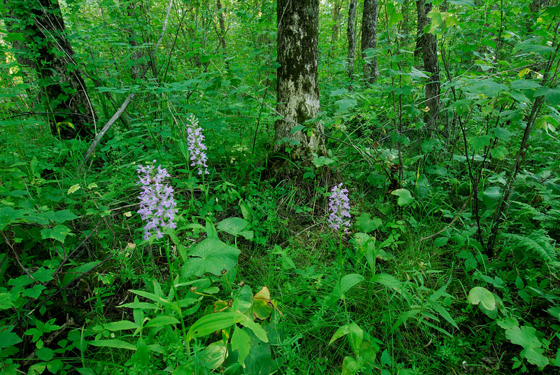 6044-Small Purple Fringed Orchid in environment (Platanthera psycodes)