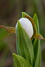 OWS-10001: Emerging White Lady's slipper bud (Cypripedium candidum)