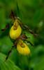 Small Yellow Lady's slipper pair