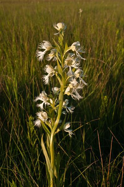 OWF-10007: Western Prairie Fringed Orchid in prairie (Platanthera praeclara)