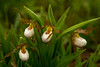 White Lady's slippers in morning rain