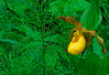 S001-Yellow Lady's slipper and Horsetail ferns (Cypripedium calceolus var pubescens)