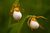 OWS-11007: Soft focus White Lady's slipper (Cypripedium candidum)