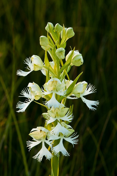 OWF-10005: Western Prairie Fringed Orchid and buds (Platanthera praeclara)