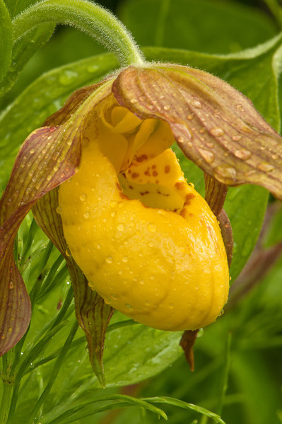 OYS-11007: Lady's slipper close-up (Cypripedium calceolus)