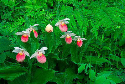 S002-Showy Lady's slipper grouping (Cypripedium reginae)