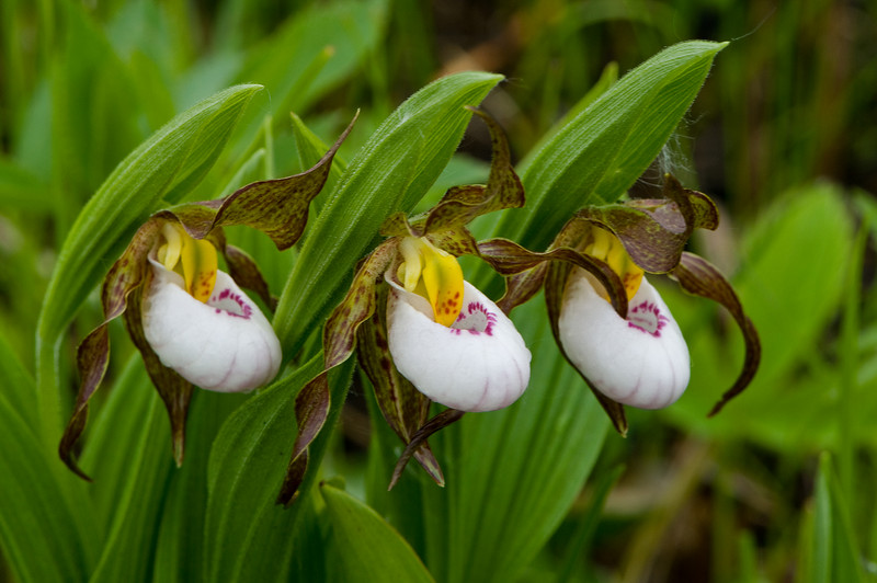 8027-White Lady's slipper trio (Cypripedium candidum)