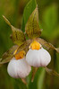 OWS-10009: White Lady's slipper pair (Cyprepidium candidum)