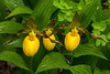 Yellow Lady's slipper trio