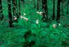 S006-Showy Lady's slippers in bog habitat (Cypripedium reginae)
