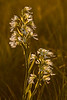 OWF-10010: Late afternoon prairie orchids (Platanthera praeclara)
