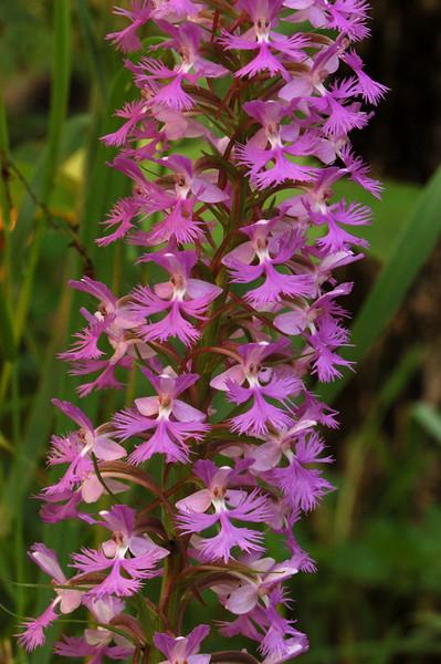 4007-Small Purple Fringed Orchid (Platanthera psycodes)