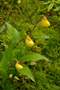 7001-Small Yellow Lady's slipper trio (Cypripedium calceolus var. parviflorum)