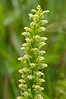 ORC-11020: Tubercled rein-orchid (Platanthera flava)