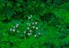 S016-Showy's amongst ferns (Cypripedium reginae)