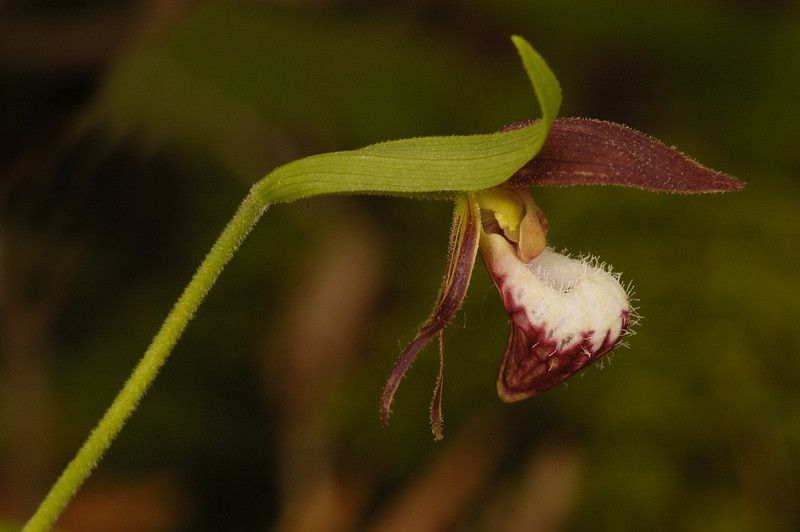 5002-Rams-Head Orchid (Cypripedium arietinum)
