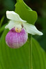 OSL-10002: Showy Lady's slipper (Cypripedium reginae)