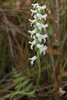 Nodding Ladies' tresses Orchid