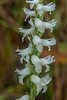 Close-up Nodding Ladies' tresses Orchid