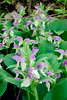 6011-Showy Orchis (Galearis spectabillis)