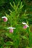 6017-Showy Lady's slippers (Cypripedium reginae)