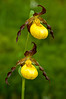 OYS-11055: Small Yellow Lady's slippers (Cypripedium calceolus var parviflorum)