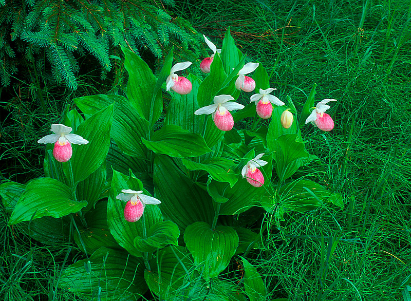 S008-Showy Lady's slippers and horsetail ferns (Cypripedium reginae)