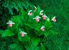 S008-Showy Lady's slippers and horsetail ferns (Cypripedium reginae)