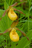 9001-Large Yellow Lady's slipper pair (Cypripedium calceolus var. pubescens)