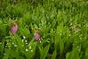5020-Stemless Lady's slippers in bog (Cypripedium acaule)